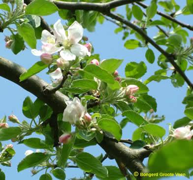Witte Winter Lombarts Calville bloei