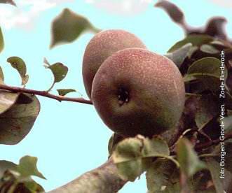 Zoete Brederode perenboom